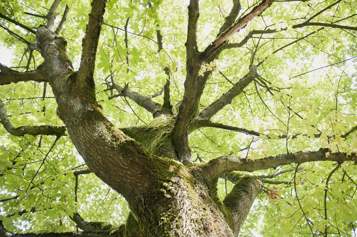 Acer neglectum Annae